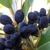 ヒメユズリハの黒い実