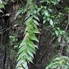 キバナノツキヌキホトトギス  世界で尾鈴山系だけに生える