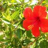竹富風景*台風を生き抜いた花。