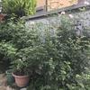 初心者でもできる超おすすめ 簡単バラの有機栽培