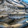 2021年8月10日 小浜漁港 お魚情報