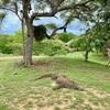 コモド国立公園のリンチャ島でコモドドラゴンに会う