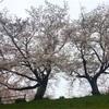 酒津の桜が満開です