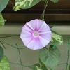 3-127   愛すべき花たち〜朝顔の色って…〜