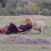 世界一周106日目前編 ケニア(38) マサイマラ国立公園3日目 〜もはや奇跡!超ラッキーなライオンの捕食シーン2連発!〜