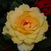 2014/06/03 ゴールドグロー 素敵な花姿
