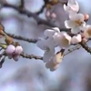 新潟では3日に桜の開花が発表!満開は4月9日頃の予定♪