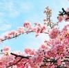 2018年春 河津桜