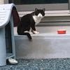 野良猫観察記③ ハチワレちゃん里親募集