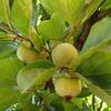 渋柿の木にイラガ ーー;