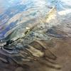 鮭の遡上を見にいった - 茨城県筑西市