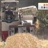 天草で麦の収穫