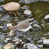 黒目川の春鳥