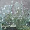 ゴンフォスティグマの成長速度と梅雨の庭