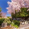 京都・一乗寺 - 圓光寺の春景色