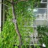 菜園プロジェクト・グリーンカーテンチャレンジ ゴーヤができています