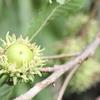 クヌギの実の豊作とシギゾウムシ