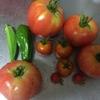どんどんトマトが採れてくる