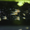 グッピー Poecilia reticulata
