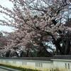 本荘公園の桜まつりがはじまっています