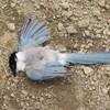 尾長鳥の末路