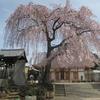 谷中、長明寺のしだれ桜