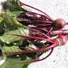 チンゲン菜、ビーツの収穫