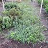 食用菊畝の除草