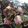 桜が咲き始めました♪