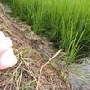 お米の苗急成長!ついに稲の穂が出てきたよ!!