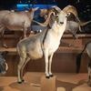 国立科学博物館 鹿の耳の位置の衝撃