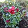 安売りビオラで花壇づくり