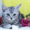 子猫・アメリカンショートヘア|ペットショップ仙台/岩沼市/亘理町