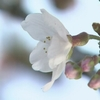 熊本市で桜開花