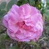 バラとクレマチスが咲き始めました !!