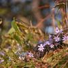 雪割草の咲く道 Ⅴ