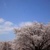 昭和記念公園の桜とチューリップ開花状況2017(2017/4/13)