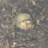 15個採卵したはずなのにかなり減少-パプキンを省スペースでブリードしてみる【パプキンブリード2018】