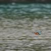 四万十川の野鳥たち