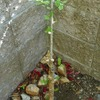 山椒の若葉が出ていました。