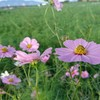 ジョギングで季節の花を愛でる ~平町のコスモス畑~