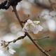 大乗寺丘陵公園「十月桜」