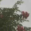 百日紅(さるすべり)の木だ。