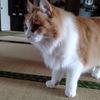 猫ちゃー胸毛のカットがガタガタ