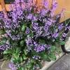 風情のある青紫の花