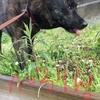 甲斐犬サンと ちりんちりんの巻〜猫サンジャナクッテ「さん」ナノネェ(>人<;)