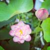 iカウンセリングのハスの花が咲きました