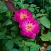 9月いっぱいに出たベーサルシュートは来年の春にきれいな花を付けます