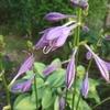ギボウシの花とポーチュラカ