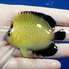 【現物7】ゴールドフレーク 7cm±水魚 ヤッコ 餌付け!15時までのご注文で当日発送【ヤッコ】